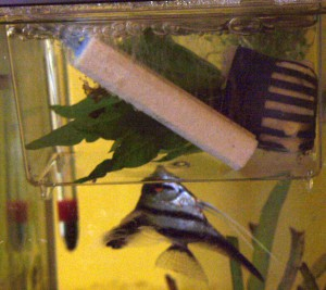 Angelfish:  parent tries to retrieve fry