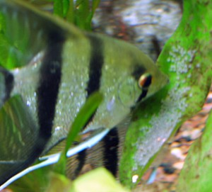 Angelfish and Hatchlings 2 April 2009