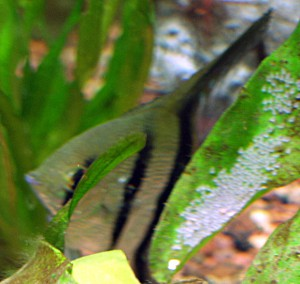 Angelfish with Hatchlings 2 April 2009