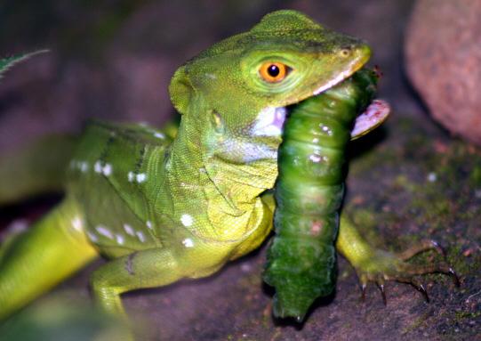 Lizards Eat Worms Basilisk Lizard Eats Silk Moth