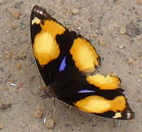 South African Butterfly