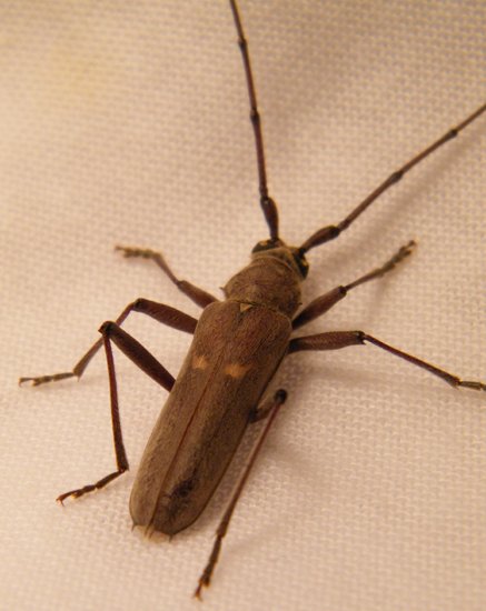 Unknown Longhorn Beetle. Banded Hickory Borer from Oklahoma   What s That Bug