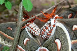 Cecropia Moths Mating