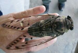 Huge Cicada from Borneo