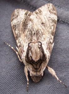 Convolvulvus Hawk Moth
