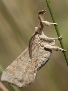 Owlet Moth:  Eporectis tephropis