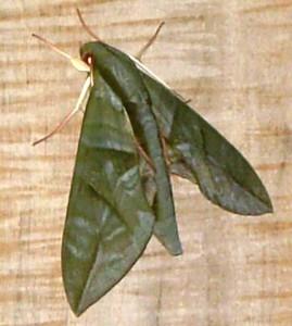 Eumorpha phorbas