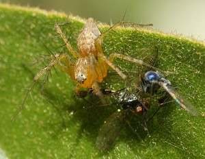 Lynx Spider gets Two-fer
