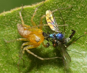 Lynx Spider eats two flies