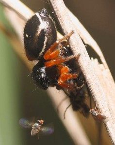 Freeloader Flies share Ant Hunter's prey