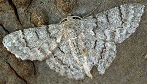 Spanworm Moth from Australia