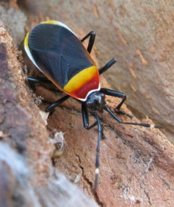 Unknown Australian True Bug