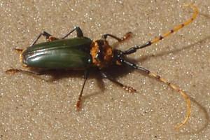 Longhorned Borer Beetle
