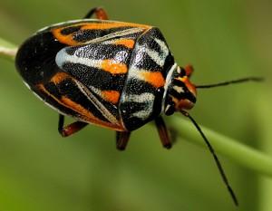 Orange Black Stink Bug