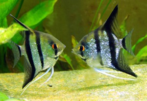 Pair of Angelfish