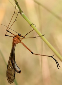 Scorpionfly or Hanging Fly