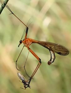 Scorpionfly captures Pod Sucking Bug