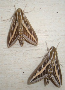 Striped Hawkmoths