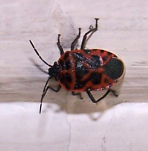 Stink Bug from Portugal