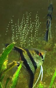 Angelfish Spawning 11 April 2009