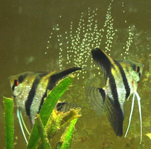 Angelfish take a Spawning Break 11 April 2009