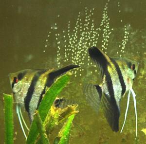Angelfish take a Spawning Break 11 April 2009