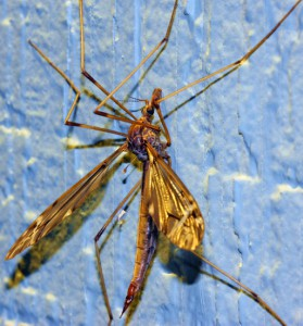 Crane Fly with Hitchhiker