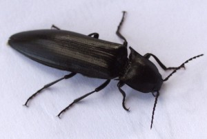 Unknown Click Beetle