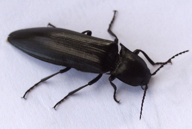 Unknown Click Beetle. Large Black Click Beetle  Lanelater schottii      What s That Bug