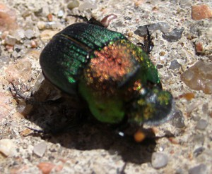 female Rainbow Scarab