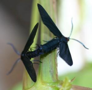 Grape Leaf Skeletonizers Mating