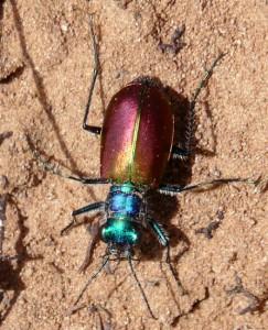 Festive Tiger Beetle???