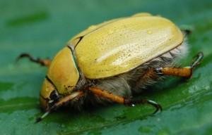 Goldsmith Beetle