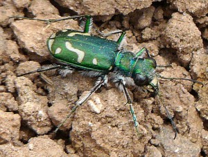 Green Claybank Tiger Beetle???