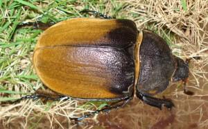 female Hercules Beetle