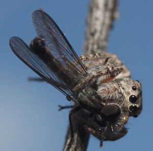 Jumping Spider eats Robber Fly
