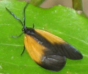 Black and Orange Lichen Moth