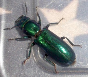 Unknown Ground Beetle