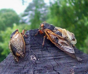 Periodical Cicadas emerge early