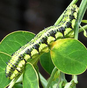Orange Barred Sulphur Caterpillar