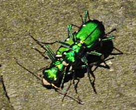 Mating Six Spotted Tiger Beetles