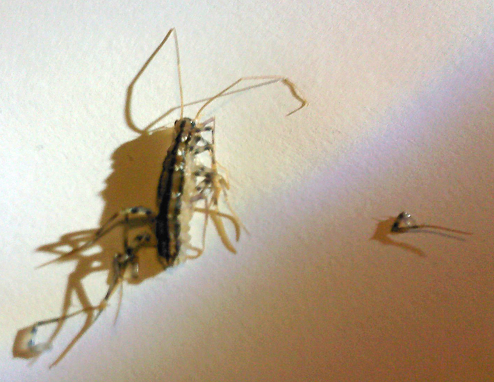 Pictures of house centipede larvae
