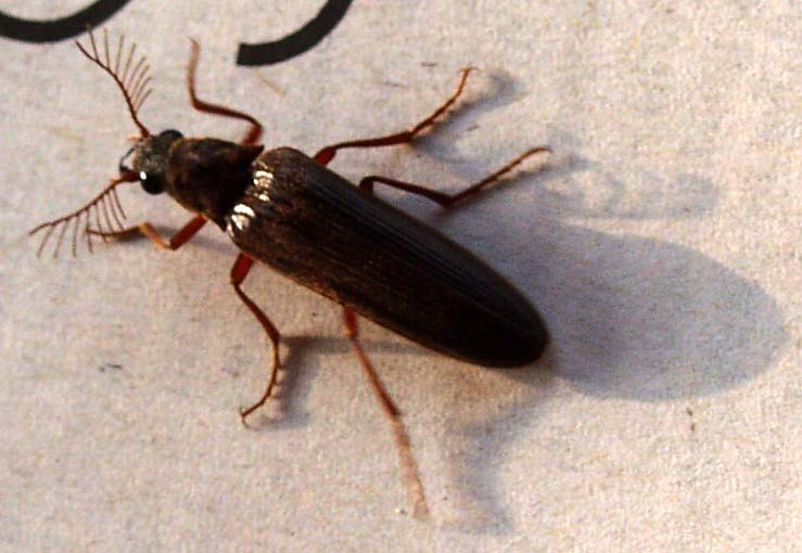 Flying Black Beetle Click Beetle