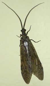 California Dobsonfly
