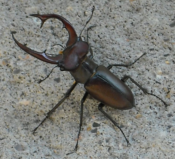 Giant Stag Beetle Giant Horned Beetle