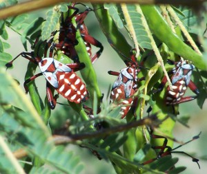 Giant Mesquite Bug nymphs