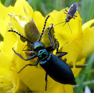 Nuttail's Blister Beetle and unknown Plant Bug