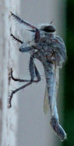 Robber Fly:  Efferia rapax???