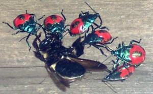 Florida Predatory Stink Bugs eat Bumble Bee