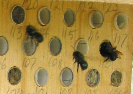 Blue Orchard Mason Bees Blue Orchard Bees Nesting